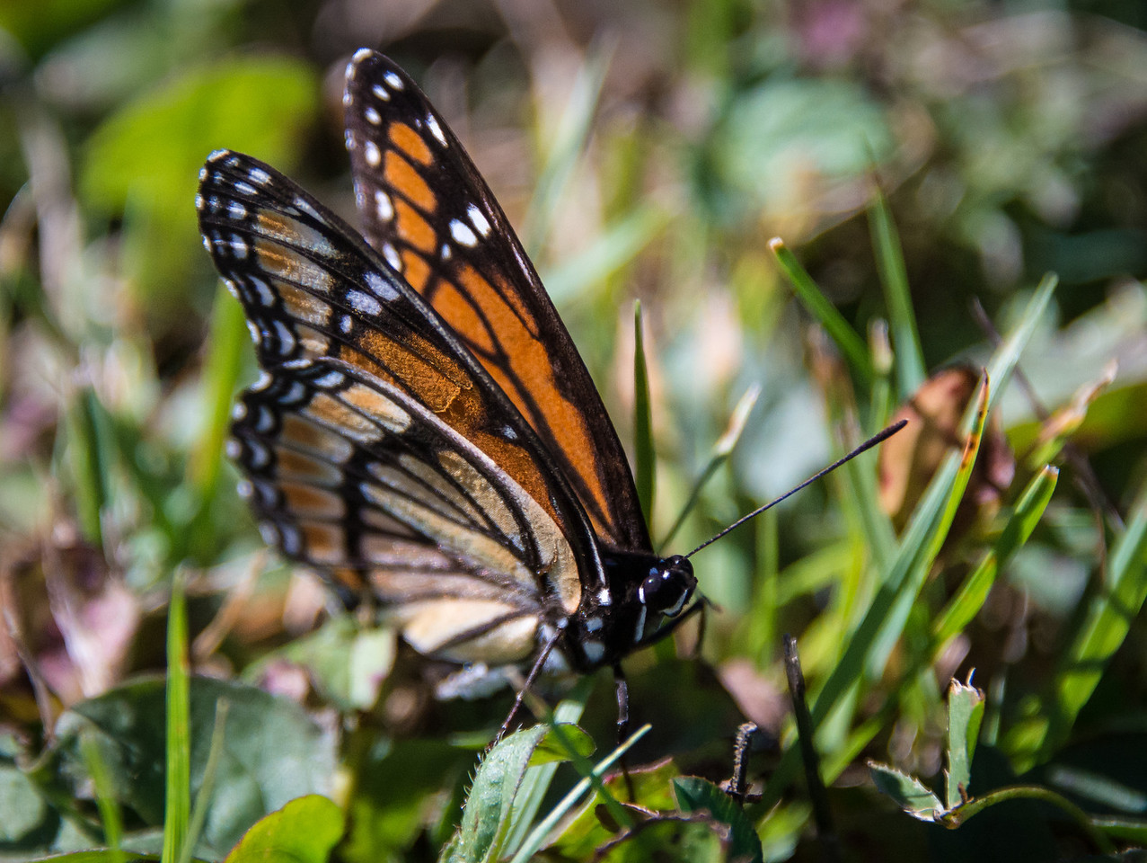 Monarch Butterfly near Pointe Aux Barques Lighthouse - September 2013