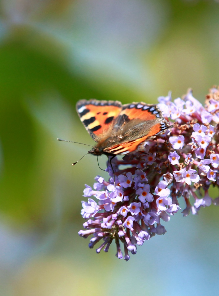 Butterfly, Tortoiseshell