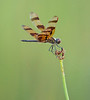 A male Halloween Pennant on a stalk of swamp grass