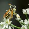 Wasp in Rain