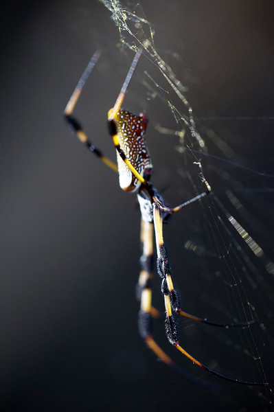 Golden Orb spider and web side view