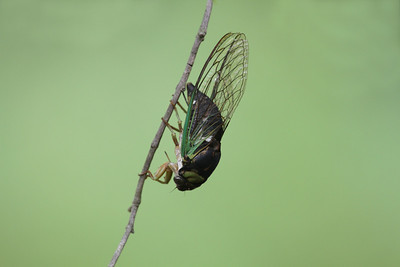 A green colored Cicada hanging on a small tree branch