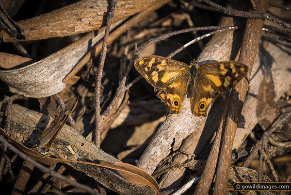 Banks' Brown butterflies