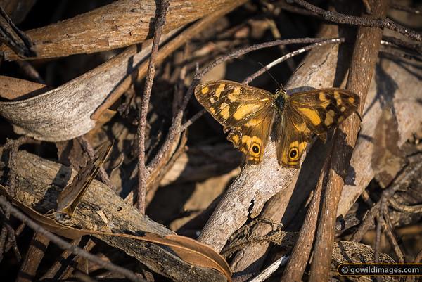 Banks' Brown butterflies