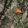 Monarchs in a Native CA Tree IV