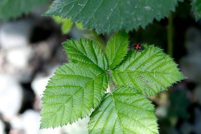 Ladybug's relative