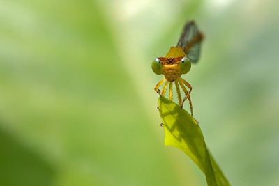 Eye to eye - Damsel Fly