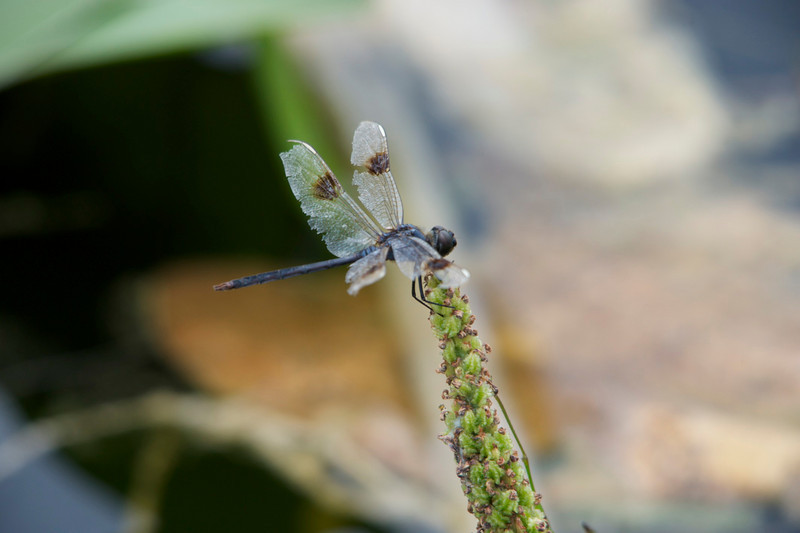 Dragonflies can live up to five months, but their wings suffer from wear and tear as they age.