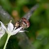 ragonfly in Rain