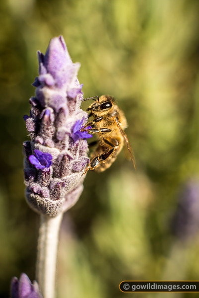 Bee and lavender