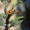 Monarchs in a Native CA Tree II
