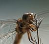 Wandering Glider dragonfly<br /> Pantala flavescens