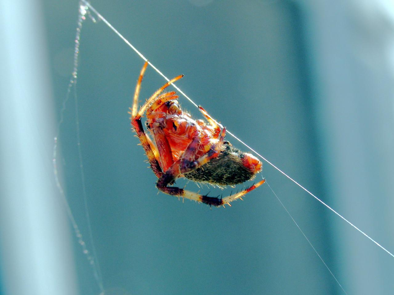 Spider on back patio - September 2005