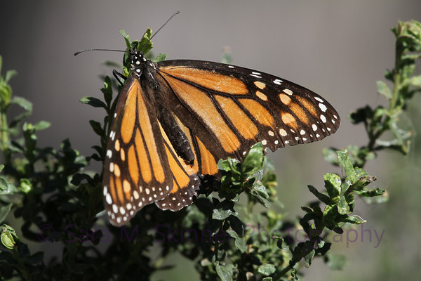 Pismo State Beach Monarch II