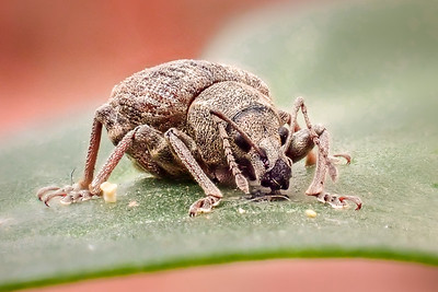 Vegetable Weevil