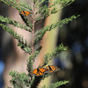 Monarchs in a Native CA Tree I