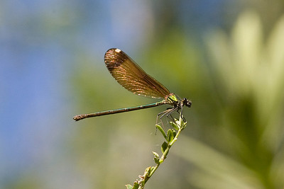 female demoiselle,  Calopteryx species