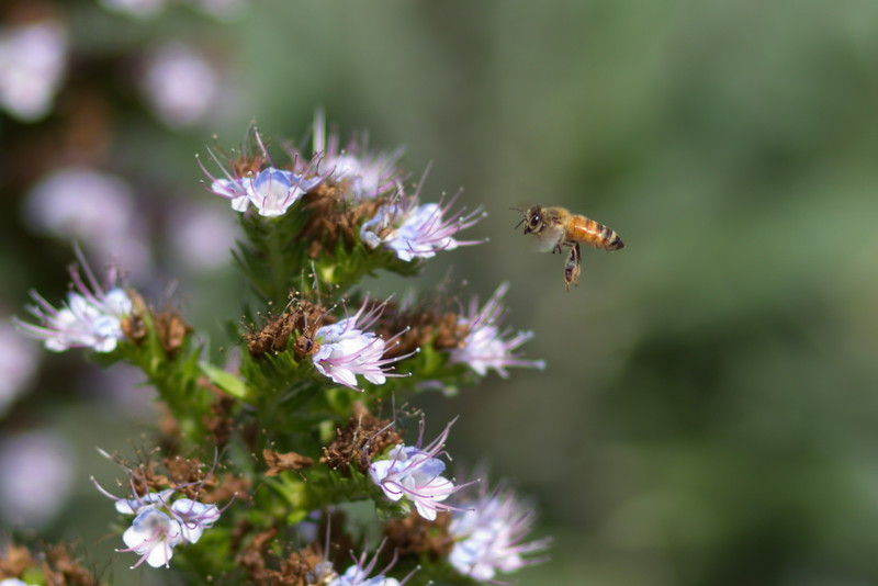 Honeybee approach (cropped)