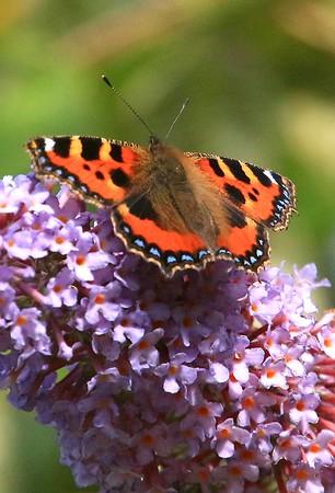 Tortoiseshell Butterfly on Buddleia