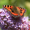 Tortoiseshell Butterfly on Buddleia