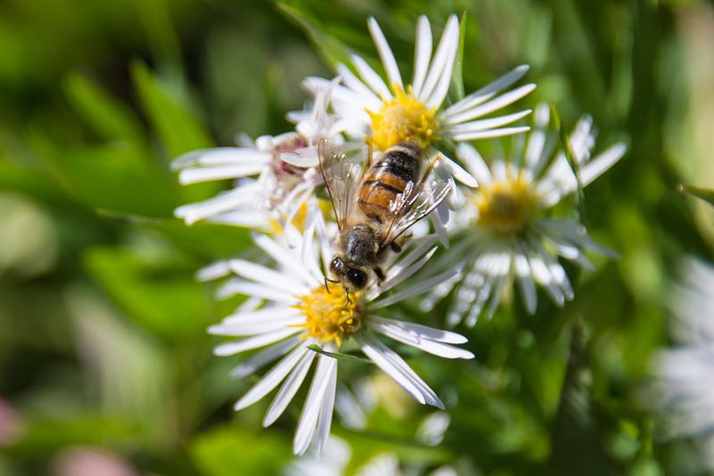 Honeybee, Beltzville Lake - September 2013