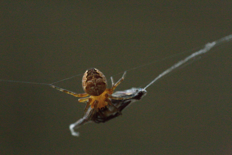 Spider packing up its catch for dinner
