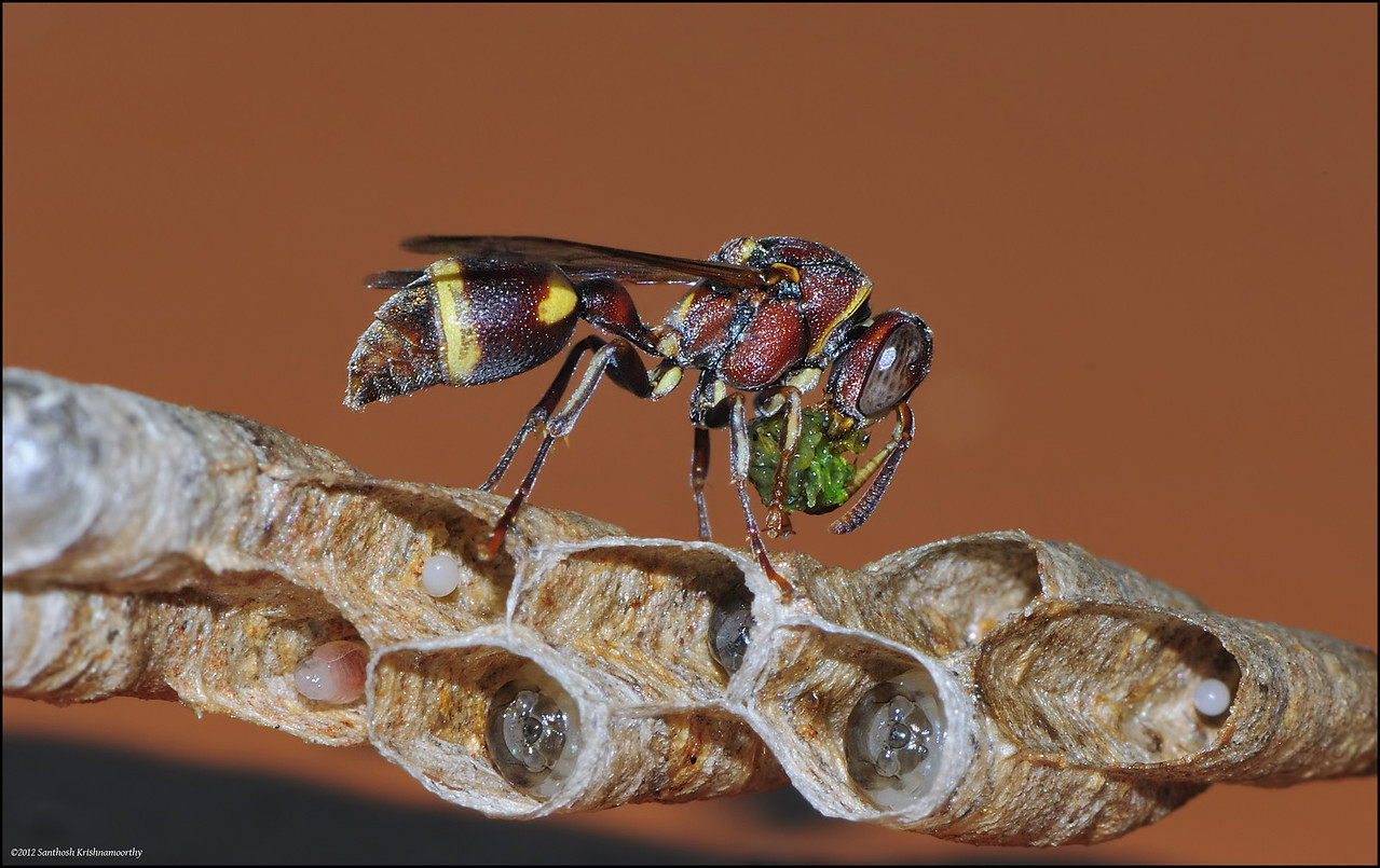 Paper wasp ( with what looks like a caterpillar feed... )