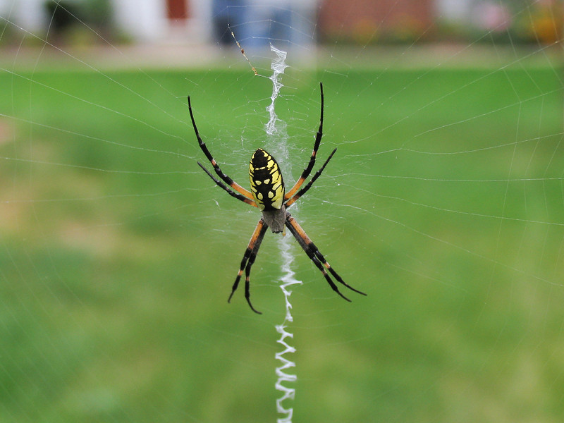 Banana Spider on back deck - August 2005