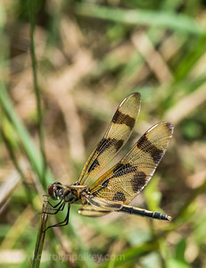Dragonfly Patterns