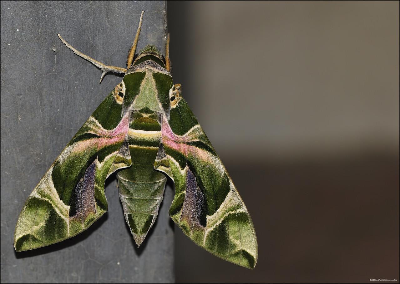 Oleander Hawk-moth....