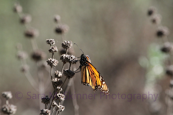 Monarch Cling II
