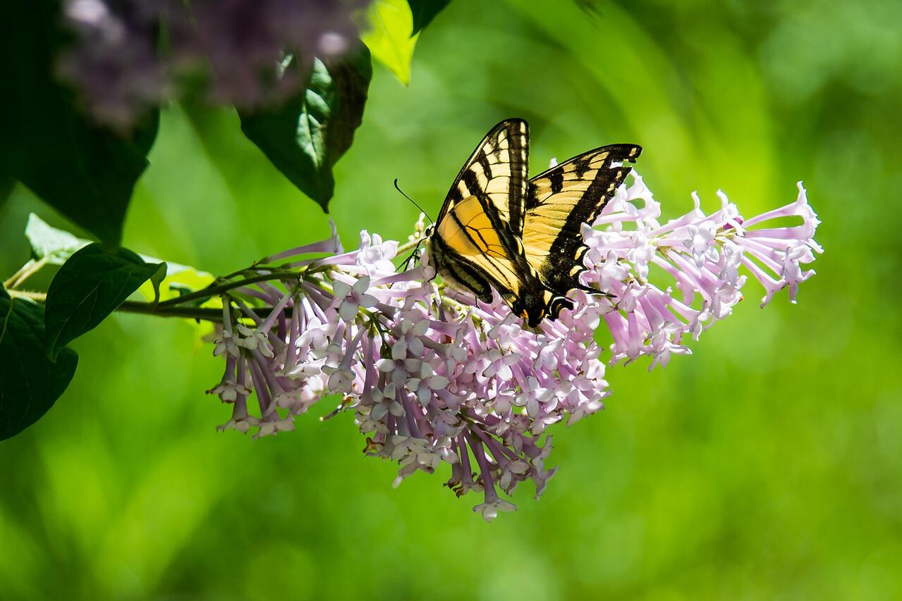 Butterfly, Grand Lake Stream, Maine - June 2015