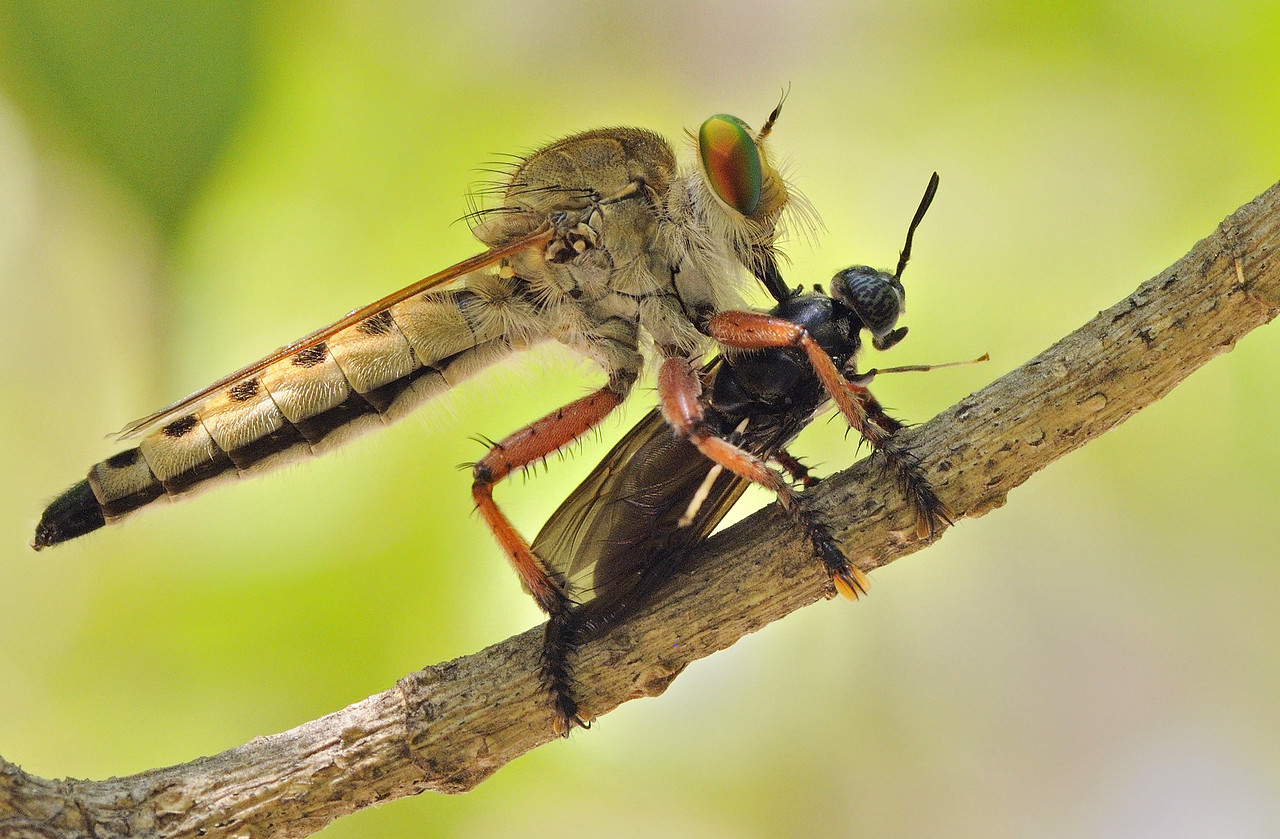 Robber fly with a kill
