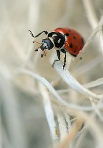 Ladybug Wave