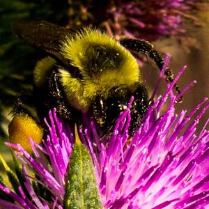 Honeybee and Thistles