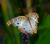 White Peacock (Anarita jatrophae) butterfly