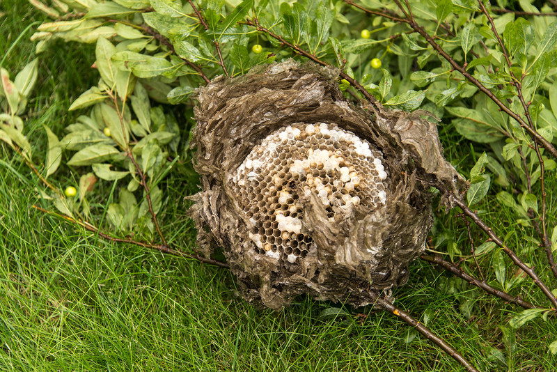 The top portion of a Bald-Headed Hornet's Nest that I removed from a tree next to my house - September 2013