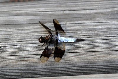 Black and White Dragon Fly