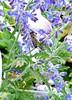 honeybee1