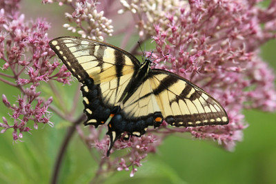 A female Eastern Tiger Swallowtail butterfly on a pink and white bush