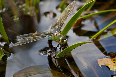 Emperor dragonfly ovipositing in garden pond