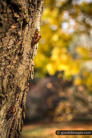 Cicada shells on a Norway Maple, Pirianda Garden, Dandenongs