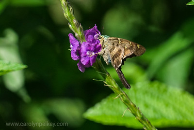 Large Butterfly Draws Nectar in Costa RIca Garden