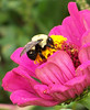 pink zinnia with bumblebee