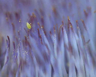 9489 Aphid on Artichoke Blossom