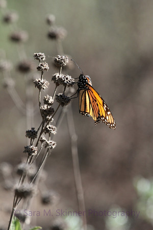 Monarch Cling III