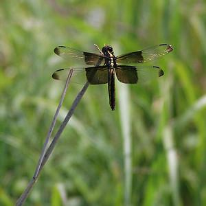 Dragonfly, Kansas.