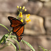 Southern California Monarch III