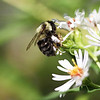 Bee and Flower XXL