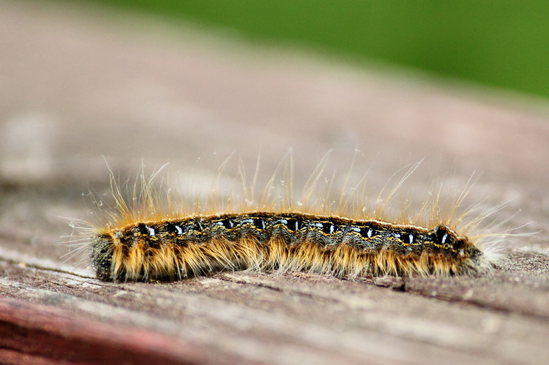 Malacosoma americana, Eastern tent caterpillar